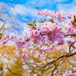 Sakura flowers blooming. Beautiful pink cherry blossom — Stock Photo #29471301