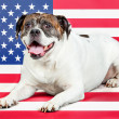 Americbulldog with US flag in as background. — Stock Photo #29756307