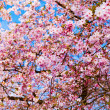 Sakura flowers blooming. Beautiful pink cherry blossom — Stock Photo #29757863