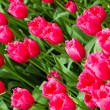 Colorful tulips. Beautiful spring flowers. background of flowers — Stock Photo #29887649