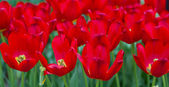 Colorful tulips. Beautiful spring flowers. background of flowers — Stock Photo