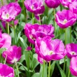 Colorful tulips. Beautiful spring flowers. background of flowers — Stock Photo #29905587