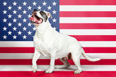 American bulldog with US flag in as background. — Stock Photo