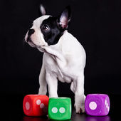 French bulldog on black background . — Stock Photo