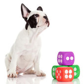 Cute French bulldog puppy on a white background — Stock Photo