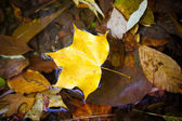 Yellow maple leaf to swim on the water. autumn leaves in a wate — Stock Photo