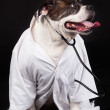 American Bulldog. dog dressed in a doctor coat and wearing a ste — Stock Photo