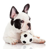 French bulldog puppy with toy ball over white — Stock Photo