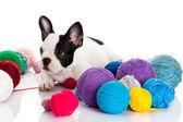 Fransk bulldog valp med en ull bollar isolerad på vit bakgrunds — Stockfoto