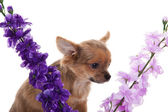 Chihuahua dog with flowers on white background. — Stock Photo