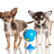 Funny puppy Chihuahua. puppy with a globe isolated — Stock Photo #30235955