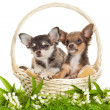 Chihuahua puppies. lovely puppy s. portrait of puppies in a bas — Stock Photo