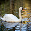 Noble swan with reflection in the water — Foto Stock