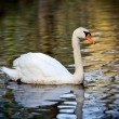 Noble swan with reflection in the water — Stock Photo