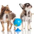 Funny puppy Chihuahua. puppy with a globe isolated — Stock Photo