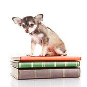 Dog on books. Chihuahua puppy — Stock Photo