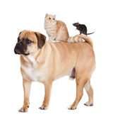 Dog, cat and mouse isolated — Stock Photo