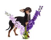 Cane Chihuahua con fiori su sfondo bianco. — Foto Stock