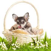 Chihuahua valpar. härlig valp s. porträtt av valpar i en bas — Stockfoto