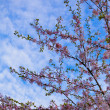 Sakura flowers blooming. Beautiful pink cherry blossom — Foto Stock