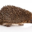 Hedgehog on a white background — Stock Photo