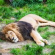 Sleeping Lion. — Stock Photo