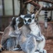 Stock Photo: Ring tailed lemur.