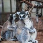 Ring tailed lemur. — Stock Photo