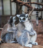 Ring tailed lemur. — Stock Photo