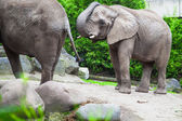 African bush elephant in zoo — Stock fotografie