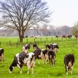 Cows on meadow with green grass. Grazing calves — Stock Photo #32035523