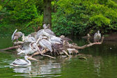 Group of white Pelicans. Pelican nest — Stock Photo