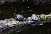 Turtles. — Stock Photo