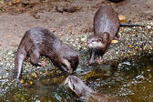 Clawed otters. An Oriental Small Clawed Otter Aonyx cinereus — Stock Photo