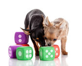 Chihuahua , 5 months old. chihuahua dog with dice — Stock Photo