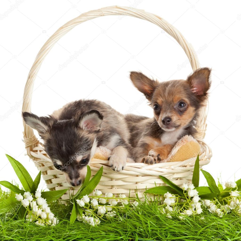 吉娃娃小狗.可爱的小狗的小狗在 bas s.肖像 — 图库照片 #32035883