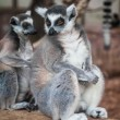 Ring-tailed lemur. — Stock Photo