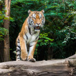 Tiger in a Zoo park — Stock Photo