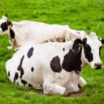 mucche sul prato con erba verde. vitelli al pascolo — Foto Stock
