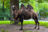 Camel in a Zoo park — Stock Photo
