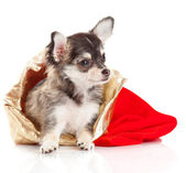 Chihuahua puppy voor kerstmis! — Stockfoto