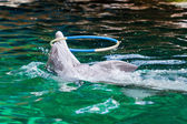 Dolphin playing with a hoop — Stock Photo