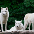 Arctic Wolves — Photo #32314163