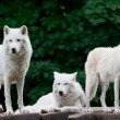 Arctic Wolves — Stock Photo