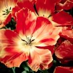 Beautiful tulips. spring flowers — Stock Photo #32315353