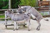 Two donkeys — Stock Photo