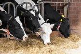 農場で牛。農場における乳牛. — ストック写真