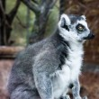 Stock Photo: Ring-tailed lemur.