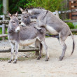 Stock Photo: Two donkeys