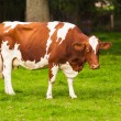 Cows on meadow. Grazing calves — Stock Photo #32484579